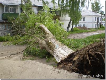 Тополь, упавший в прошлом году и угробивший электроснабжение на трое суток