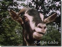 Единственный в мире говорящий козёл