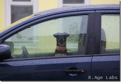 Собаки тоже умеют водить
