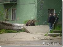 Упавшее дерево и грустное начальство рядом